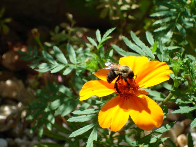 photograph of bee feeding at yellow flower